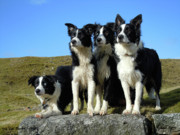 Lead Mines Framed Prints - The Four Border Collies Framed Print by Darren  Campini