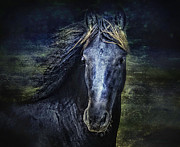 Sue Fulton Posters - The Friesian Poster by Sue Fulton