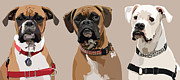 Pet Portraits Digital Art Posters - Three Boxers Poster by Kris Hackleman