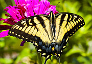 Tiger Swallowtail Posters - Tiger Swallowtail on Zinnia Poster by Thomas R Fletcher