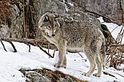 Black. Timber Wolf Photography Prints - Timber Wolf in Winter Print by Michael Cummings