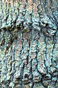 Lichen Prints - Tree Bark Print by John Foxx