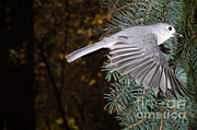 Titmouse Art - Tufted Titmouse In Flight by Ted Kinsman