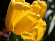 Big Tulip Prints - Tulip named Big Smile Print by J McCombie