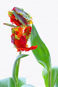 Tulips Metal Prints - Tulips Metal Print by Kristin Kreet