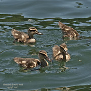 Baby Mallards Framed Prints - 3 Up and 1 Down Framed Print by Kenny Bosak