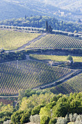 Vineyards And Olive Groves Print by Jeremy Woodhouse