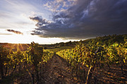Chianti Vines Prints - Vineyards Print by Jeremy Woodhouse