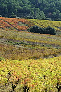 Winemaking Framed Prints - Vineyards with fall foliage Framed Print by Sami Sarkis