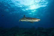 Elasmobranch Prints - Whitetip Reef Shark, Kimbe Bay, Papua Print by Steve Jones