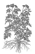Apiaceae Posters - Wild Parsley Poster by Science Source