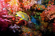 Tropical Fish Posters - Yellow Banded Sweetlip Fish And Coral Poster by Beverly Factor