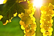 Sun Posters - Yellow grapes Poster by Elena Elisseeva