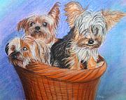 Terriers Pastels Framed Prints - 3 Yorkies in a basket Framed Print by Tracey Hunnewell