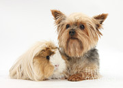 Yorkshire Terrier And Guinea Pig Print by Mark Taylor