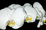 Exotic Photos - Exotic Orchids of C Ribet by C Ribet