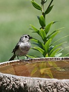 Indiana Flowers Prints - Tufted Titmouse Print by Jack R Brock