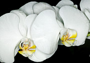 Plant Framed Prints - Exotic Orchids of C Ribet Framed Print by C Ribet