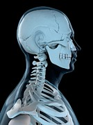 Human Head Art - Upper Body Bones, Artwork by Sciepro