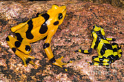 Featured Art - Harlequin Toad by Dante Fenolio
