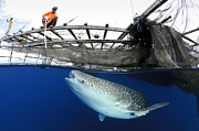Sea Platform Prints - Whale Shark Feeding Under Fishing Print by Steve Jones
