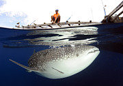 Platform. Level Prints - Whale Shark Feeding Under Fishing Print by Steve Jones