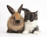 Fluffy Cat Prints - Kitten And Rabbit Print by Mark Taylor