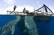 Water Filter Photos - Whale Shark Feeding Under Fishing by Steve Jones