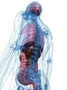 Human Internal Organ Art - Male Anatomy, Artwork by Sciepro