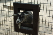 Billy Goats Framed Prints - 3D TV Goat 1 Framed Print by Robyn Stacey