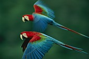 Wild Parrots Framed Prints - A Mated Pair Of Red-and-green Macaws Framed Print by Joel Sartore