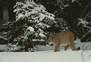 A Mountain Lion, Felis Concolor Print by Jim And Jamie Dutcher