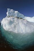 Icebergs Photos - Adelie Penguin Pygoscelis Adeliae Group by Colin Monteath