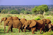 Herd Of Elephants Posters - African Elephant Loxodonta Africana Poster by Gerry Ellis