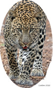 Colored Charcoal Digital Art Framed Prints - African Leopard Framed Print by Larry Linton