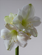 Interior Still Life Photo Metal Prints - Amaryllis  Metal Print by Robert Ullmann