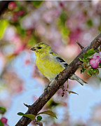 Finch Photos - American Goldfinch by Betty LaRue