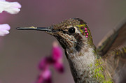 Paul Marto - Annas Hummingbird