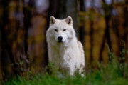 Wildlife Pics Prints - Arctic Wolf Print by Michael Cummings