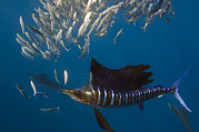 Predating Posters - Atlantic Sailfish Istiophorus Albicans Poster by Pete Oxford