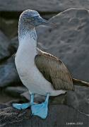 Galapagos Islands Posters - Blue-footed Booby Poster by Larry Linton