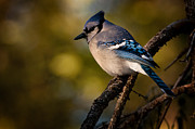 Blue Jay Images Prints - Blue Jay Print by Michael Cummings