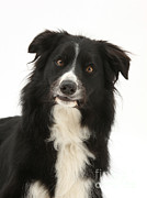 White Dog Framed Prints - Border Collie Framed Print by Mark Taylor