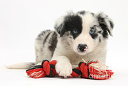 Toy Dog Photo Posters - Border Collie Pup Poster by Mark Taylor