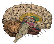 Human Brain Art - Brain Cross-section by Science Source