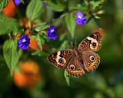 Animals - Butterfly by Robert Ullmann
