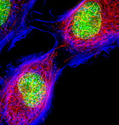 Identical Posters - Cell Division Poster by Dr Paul Andrews, University Of Dundee