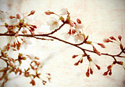 Oriental Cherry Tree Framed Prints - Cherry Blossoms Framed Print by Charline Xia