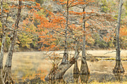 Autumn Scene Framed Prints - Cypress Trees in the Mist Framed Print by Iris Greenwell