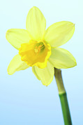 Daffodil (narcissus Sp.) Print by Lawrence Lawry
